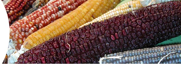 Maize corn. Photo: ©Brigitte Gouesnard
