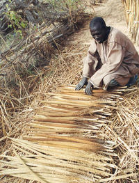 Seed sorting in pearl millet, Niger. Photo C. Mariac ©IRD